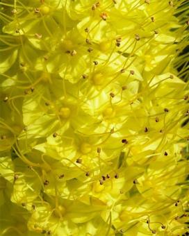 Эремурус желтый (Yellow eremurus)