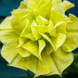 Петуния (Yellow petunias)