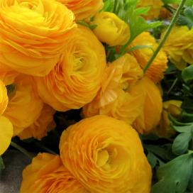 Ранункулюс, или садовый лютик (Yellow ranunculus)