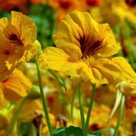 Настурция (Yellow tropaeolum)