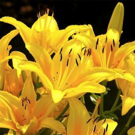 Лилия желтая (yellow lilies)