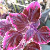Колеус (Coleus 'Trailing Plum Brocade')