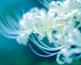 Ликорис (Lycoris White)