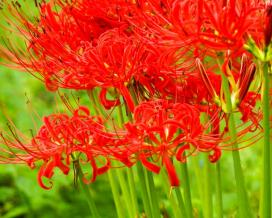 Ликорис (Lycoris radiata)
