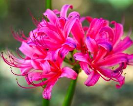 Ликорис (Lycoris x jacksoniana)