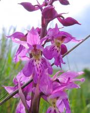 Ятрышник (Orchis mascula)
