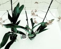 Орхидеи после полива душем
