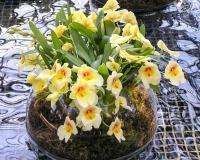 Полив орхидеи с помощью погружения в воду