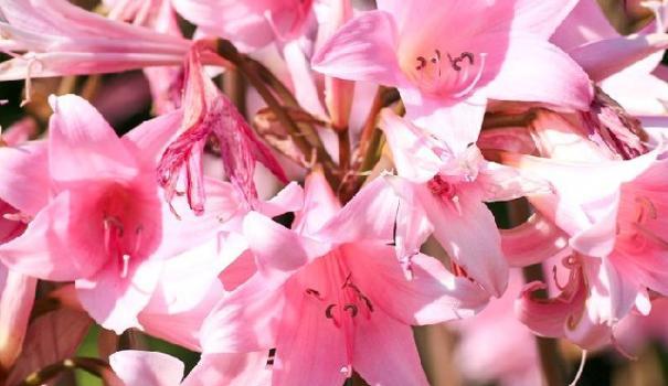 Амариллис беладонна (Amaryllis belladonna)