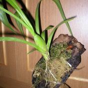 Выращивание орхидей на блоках