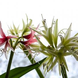 Гиппеаструм (Hippeastrum Cybister Rose Evergreen)