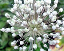 Аллиум (Allium)