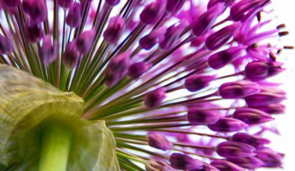 Аллиум, или декоративный лук (Allium)