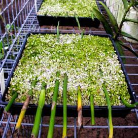 Поддон в укорененными черенками орхидеи ставится в тепличку, поливать по мере надобности водой с растворенными в ней удобрениями