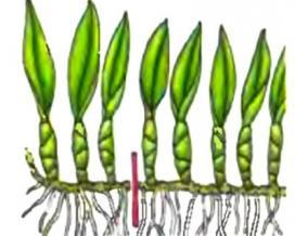 Симподиальные орхидеи размножаются делением ризомы