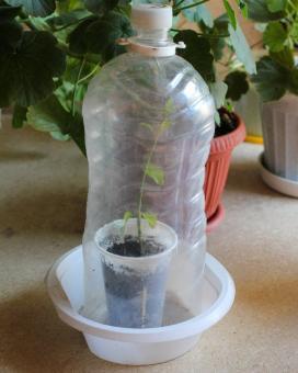 Укоренение черенка комнатного жасмина. Пластиковая бутылка выполняет роль мини-теплички.