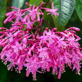 Фуксия метельчатая (Fuchsia paniculata)