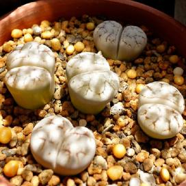 Литопс (Lithops werneri)