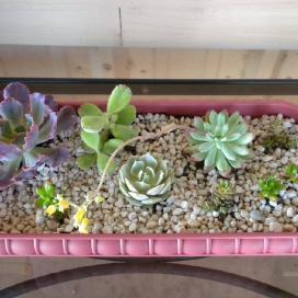 Для выращивания садика из суккулентов лучше взять плоскую посуду, поверхность земли между высаженными растениями засыпать песком или мелким гравием, галькой