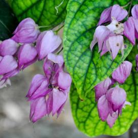 Клеродендрум Томсона (Clerodendrum thomsoniae). Цветки-фонарики стали сиреневыми