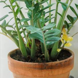 У замиокулькаса могут желтеть листья