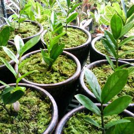 После укоренения листья рассаживают в отдельные горшки