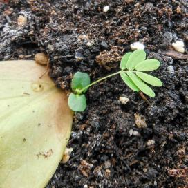 Из укорененного листика замиокулькаса появляется молоденький побег