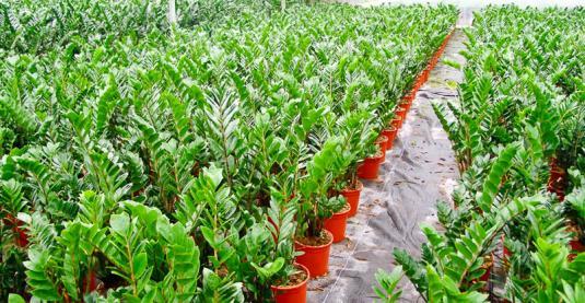 Замиокулькас обрел популярность благодаря массовым продажам на цветочных аукционах в Голландии