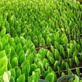 Размножение замиокулькаса отдельными листьями