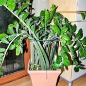 Крупные сложно-перистые листья замиокулькаса нуждаются в опоре