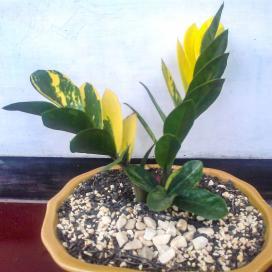 Пестролистная форма замиокулькаса замиолистного (Zamioculcas zamiifolia variegata)