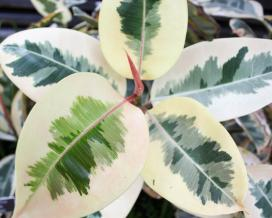 Фикус каучуконосный Вариегата (Ficus elastica Variegata)