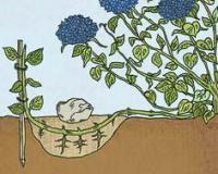 Размножение гортензии крупнолистной отводками
