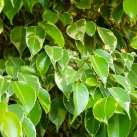 Фикус Бенджамина Golden King (Ficus benjamina Golden King)