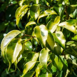 Фикус Бенджамина Reginald (Ficus benjamina reginald)