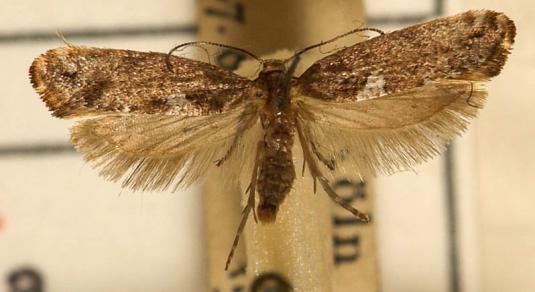 Луковая моль (acrolepia assectella)