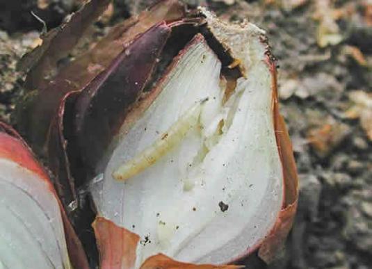 Личинки луковой мухи (delia antiqua)