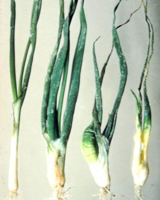 Стеблевая нематода лука (ditylenchus dipsacea)