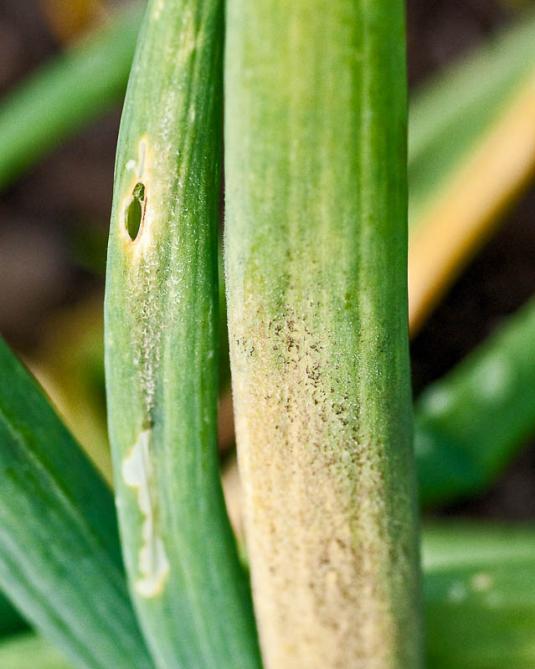Ложная мучнистая роса, или, пероноспороз лука