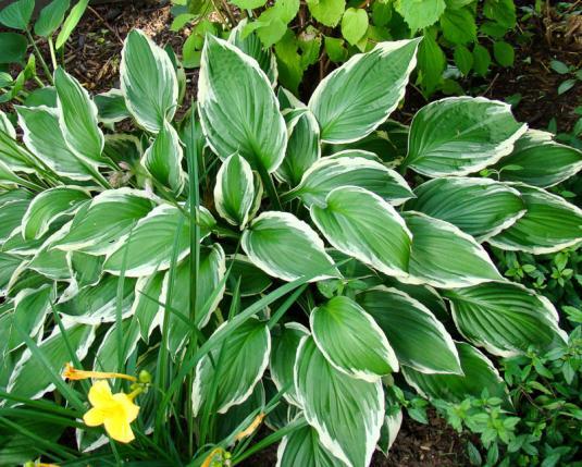 Хоста белоокаймленная (hosta albomarginata)