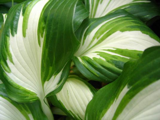 Хоста волнистая (hosta undulata univittata)