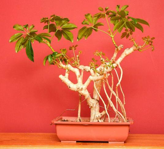 Шеффлера древесная, бонсай (schefflera arboricola bonsai)