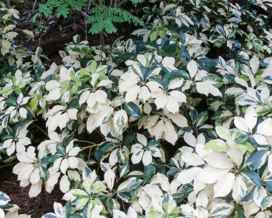 Шеффлера древесная пестролистная (schefflera arboricola variegata)