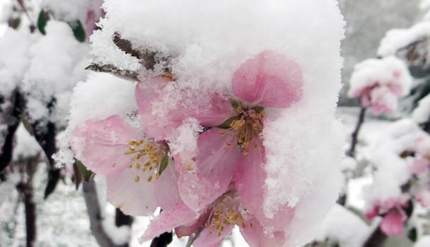 Чем опасны весенние заморозки плодовому саду