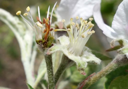 Поврежденные морозом цветки чернеют в серединке