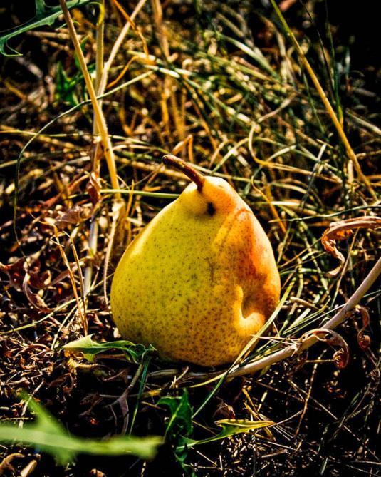 Поврежденная весенними заморозками груша
