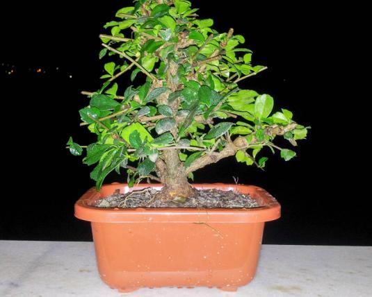 Кармона мелколистная (carmona microphylla)