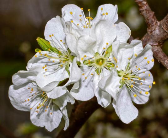 Терн (prunus spinosa)