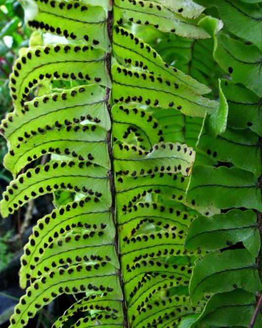 Сорусы (группы спорангий) расположены по краям листочков (сегментов вай)