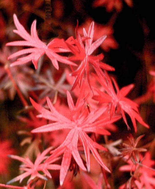 Герань кроваво-красная (geranium sanguineum)